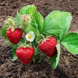 strawberry malling champion plant growing