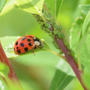 ladybird and aphids