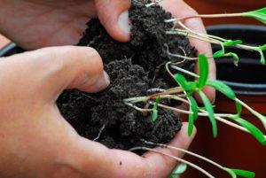 Splitting cosmos seedlings