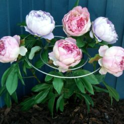 Spirals with peonies