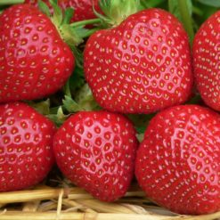 close up of strawberry Malwina fruits