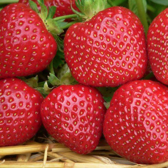 close up of strawberry Malwina fruits
