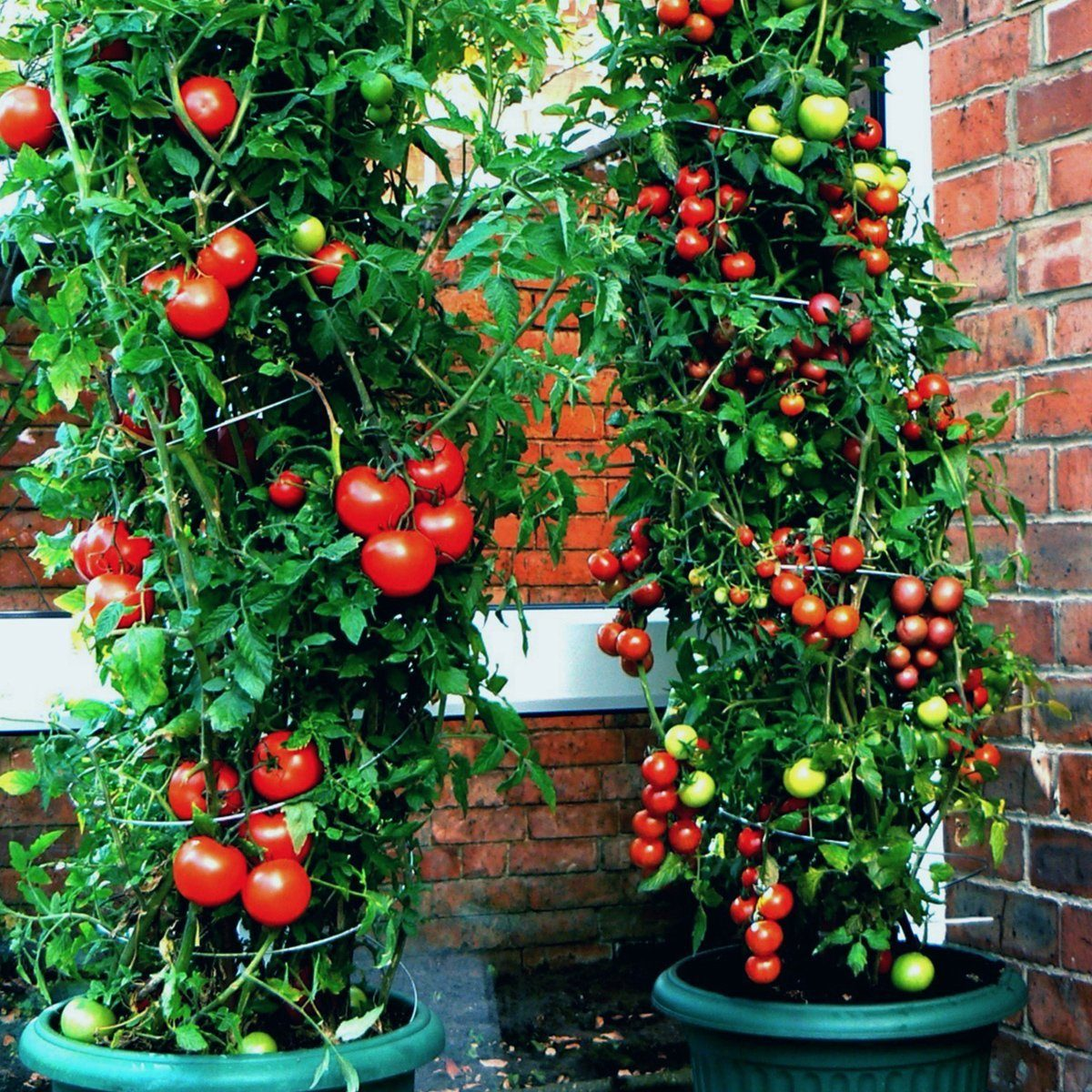 Plant twisters with tomatoes