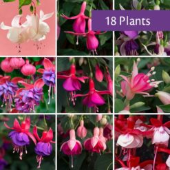 Award Winning Fuchsia Collection