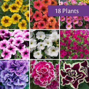 Petunia collection