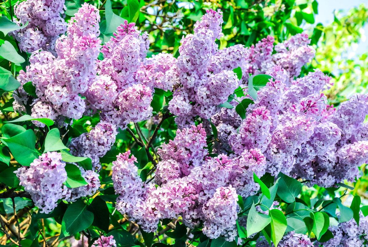 Lilac shrub in flower