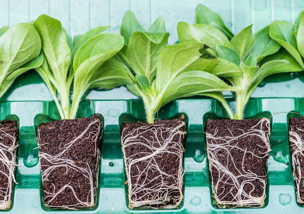 Plug plants in tray