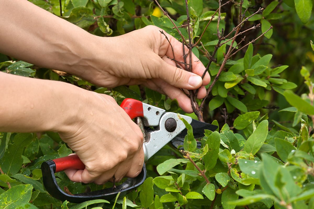 Removing dead branches from shrub