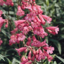 Penstemon Hewells Pink