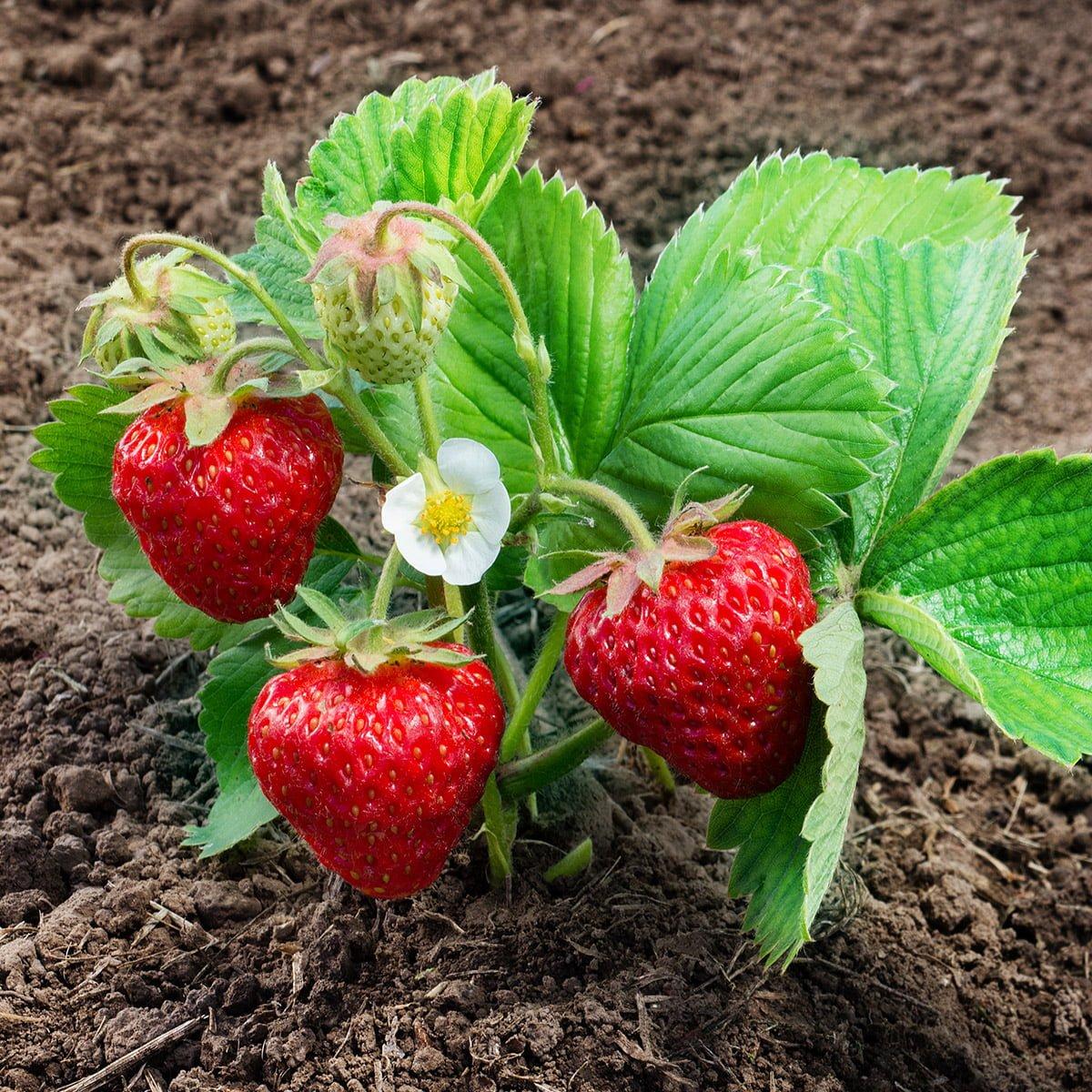 Strawberry Malling Centenary