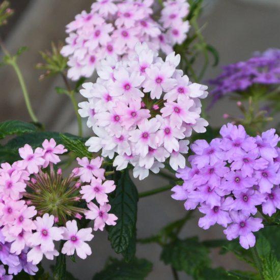 verbena Margaret's Memory and Seabrooks Lavender