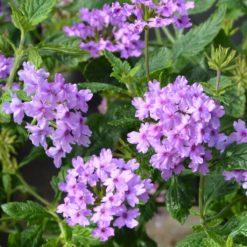 verbena Seabrooks Lavender