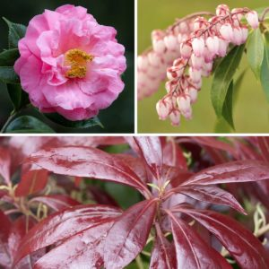 Pieris & Camellia - Spring Offer