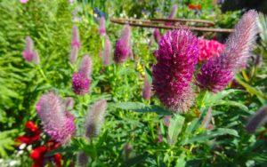 Pink trifolium