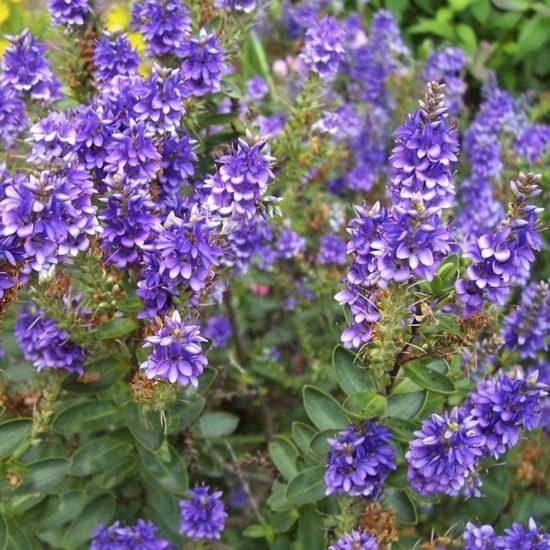 Hebe Purple Pixie flowers