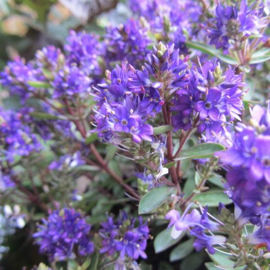 Hebe Claret Crush flowers