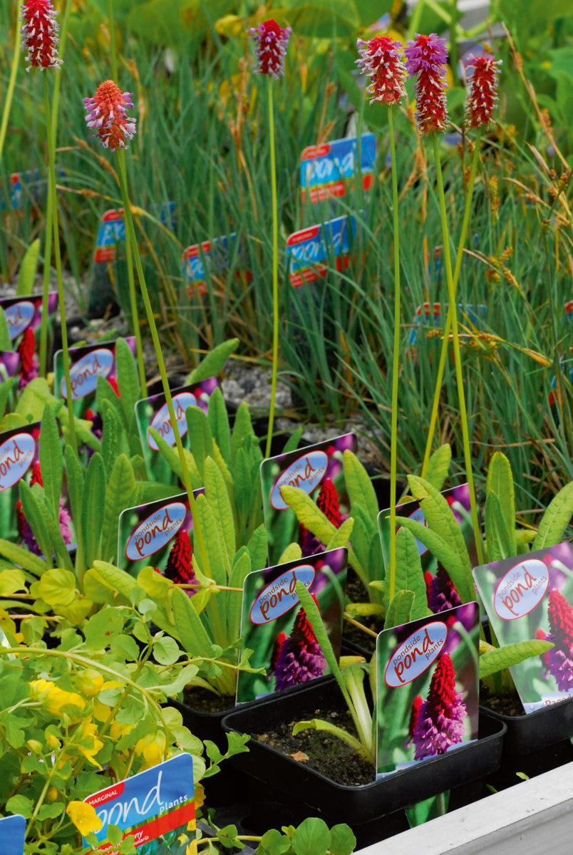 pond plants on sale
