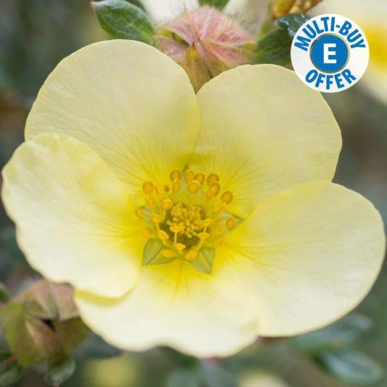 yellow flower of Potentilla Primrose Beauty