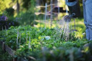 man watering raised vegetable bed