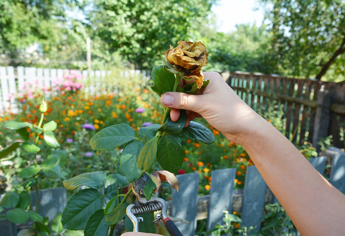 woman about to dead-head rose bloom