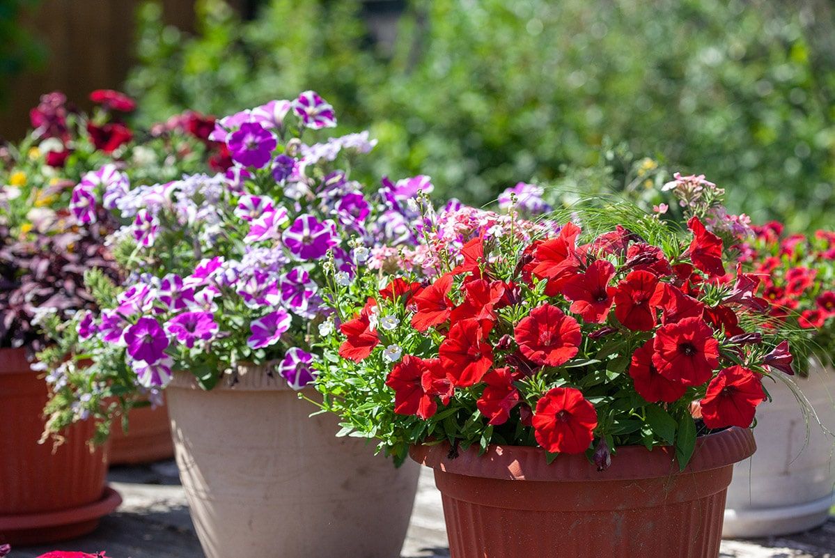 petunias in containers in sun