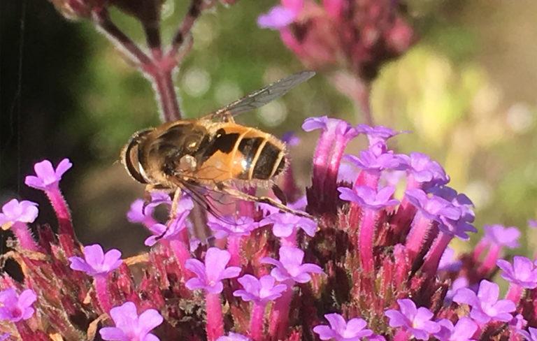 Hoverfly on verbena