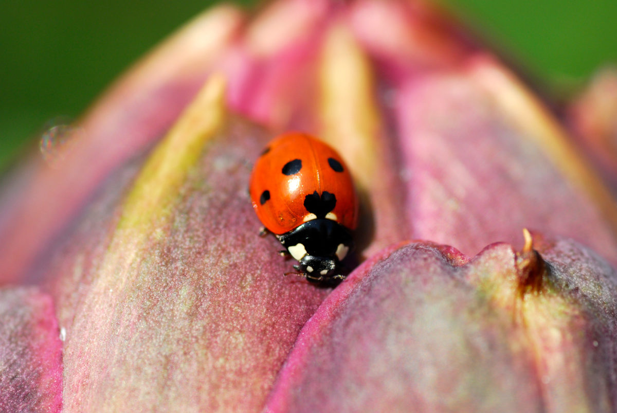 close up of ladybird