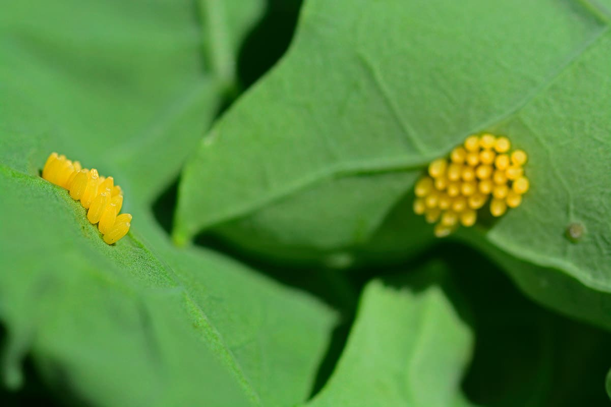 Cabbage White butterfly eggs on leaf