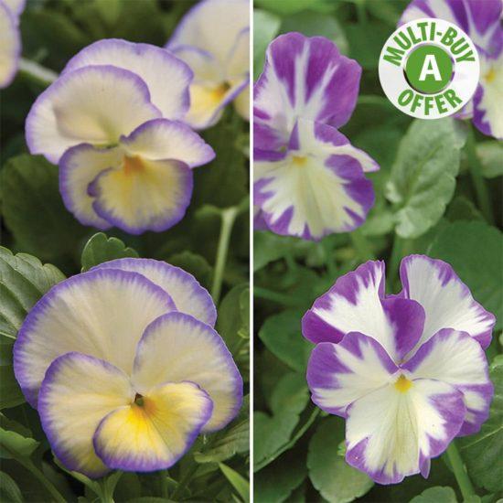 Perennial Violas