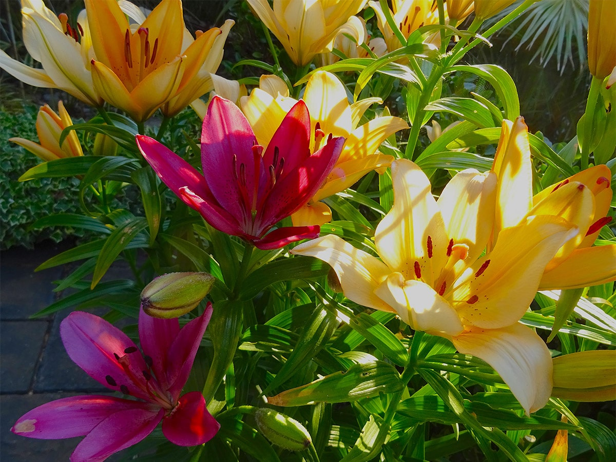 Margaret's lilies at Driftwood