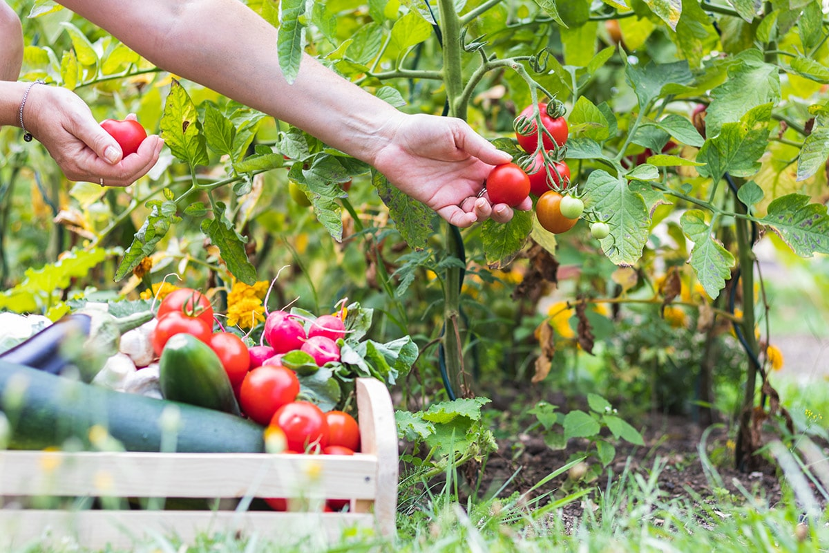 Picking ripe vegetables and fruit