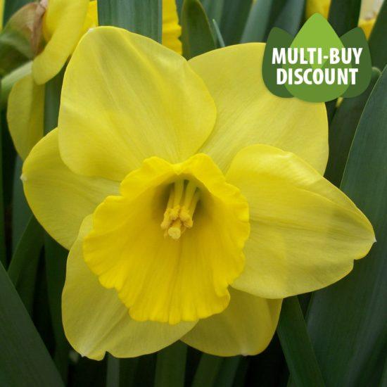 Daffodil Camelot
