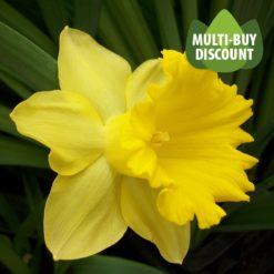 Daffodil Dutch Master