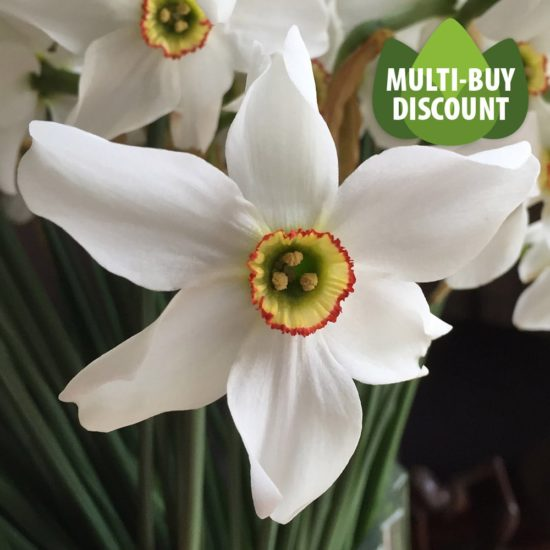 Daffodil Pheasant's Eye