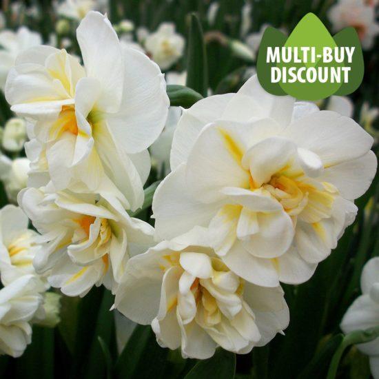 Daffodil Sir Winston Churchill