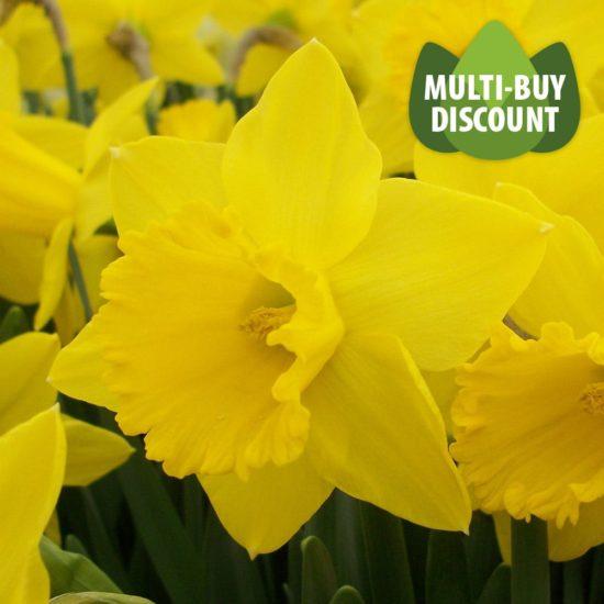 Daffodil St Keverne