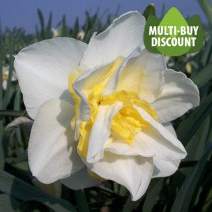 Daffodil White Lion