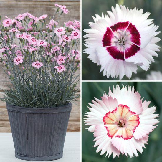 Dianthus Cottage Garden Pinks