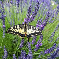 Butterfly on Lavender Phenomenal