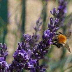 Bee on Lavender Phenomenal