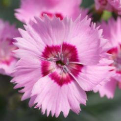 Dianthus Cottage Garden Pinks - Shirley Temple