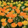 Tulip Daydream
