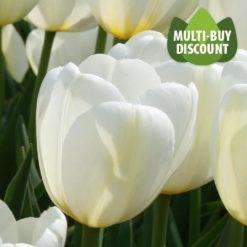 Tulip Angel's Wish