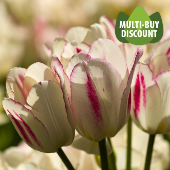 Tulip Candy Club