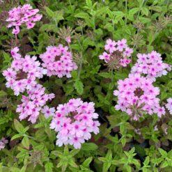 Verbena Seabrook's Lavender