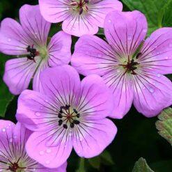 Geranium Bloom Time