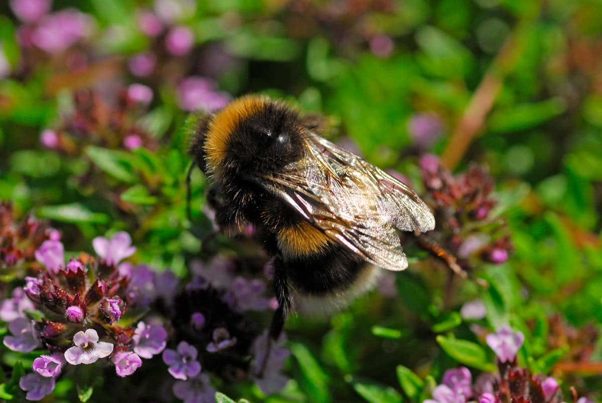 bee on thyme plant
