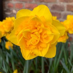Daffodil Heamoor