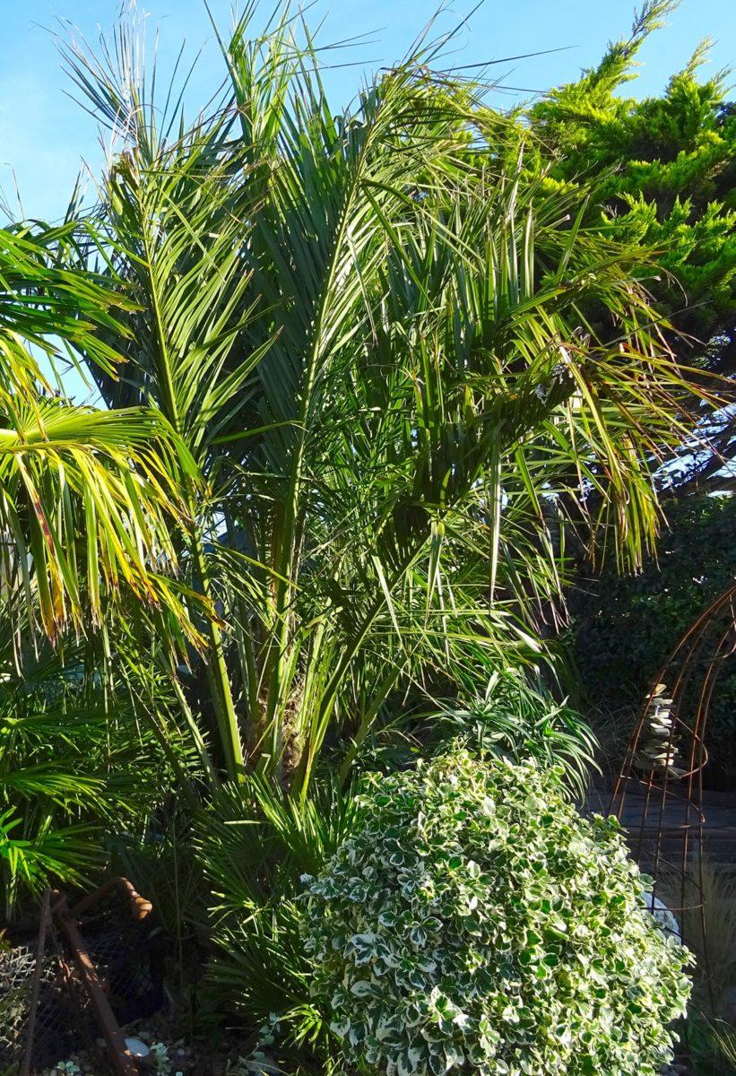 Butia capita at Driftwood Garden