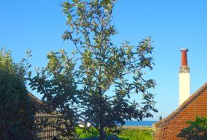 Sorbus in Driftwood Garden